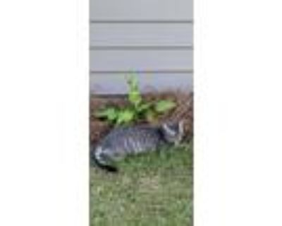 Adopt Willie a Gray, Blue or Silver Tabby Domestic Shorthair / Mixed (short