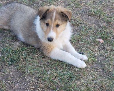 Roughcoat Collie Pups
