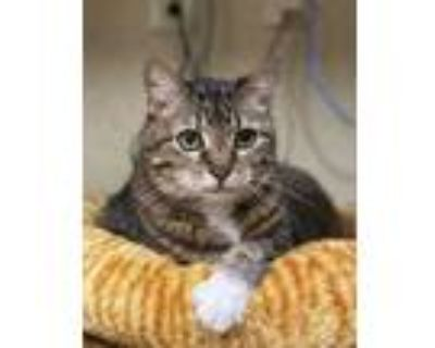 Adopt Boots a Brown or Chocolate Domestic Shorthair / Domestic Shorthair / Mixed