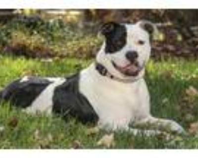 Adopt Apollo a Black American Pit Bull Terrier / Mixed dog in Cashiers