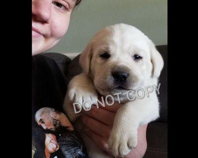 Coming soon Labrador Retriever Puppies