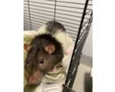 Adopt Patchei a Rat small animal in Bloomington, IN (32081823)