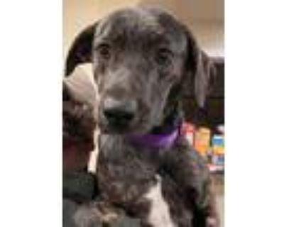 Adopt Katmai a Plott Hound / Mixed dog in Alexandria, VA (30302380)