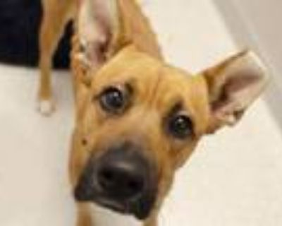 Adopt SCOOBY a German Shepherd Dog, Mixed Breed