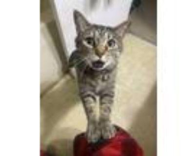 Adopt Zelda a Tiger Striped Domestic Shorthair / Mixed (short coat) cat in