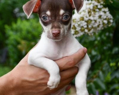 Hummer 11088 - Chihuahua/Mix - Puppy Male