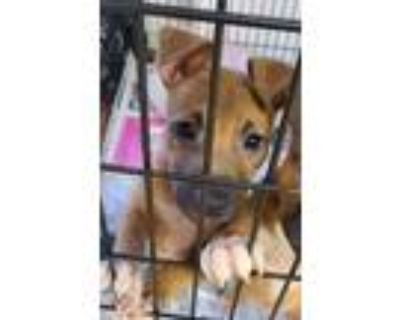 Adopt Scooby a Black - with Tan, Yellow or Fawn Boxer / Mixed Breed (Medium) /