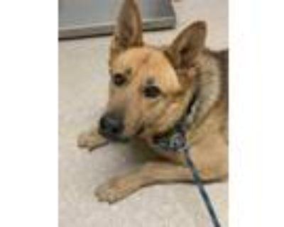 Adopt *JONAS a Tan/Yellow/Fawn - with Black German Shepherd Dog / Mixed dog in