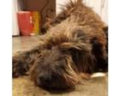 Adopt (Found) Gusto a Labrador Retriever, Poodle