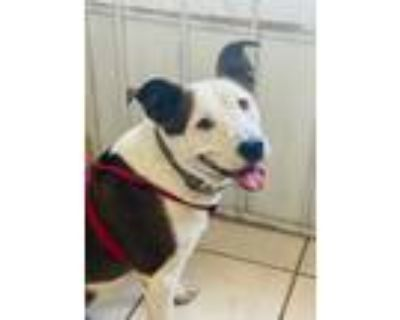 Adopt DOROTHY a White - with Brown or Chocolate Staffordshire Bull Terrier /