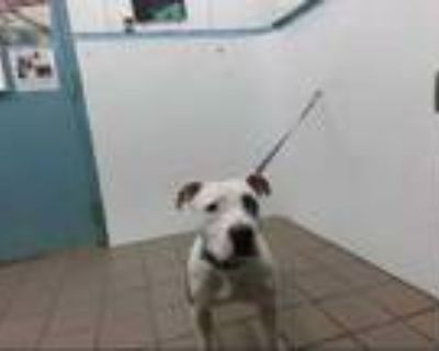 Adopt CORONA a White - with Gray or Silver American Pit Bull Terrier / Mixed dog