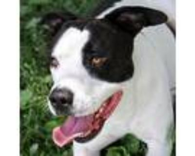 Chase, American Pit Bull Terrier For Adoption In Columbia, Missouri