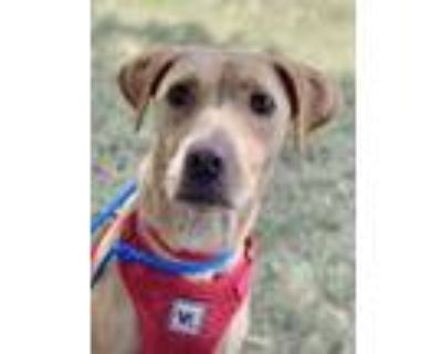 Adopt Lucy a Tan/Yellow/Fawn Labrador Retriever / Terrier (Unknown Type