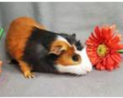 Patrick, Guinea Pig For Adoption In New Albany, Indiana
