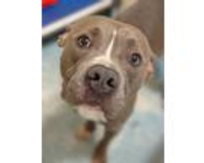 Adopt Toby a Mixed Breed (Large) / Pit Bull Terrier / Mixed dog in Portsmouth