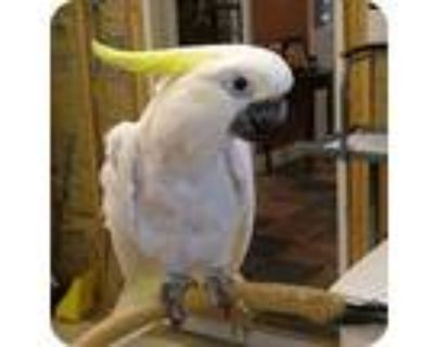 Johnnie, Cockatoo For Adoption In Northbrook, Illinois
