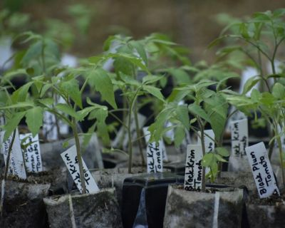 Heirloom Tomato plants (Delivery available)