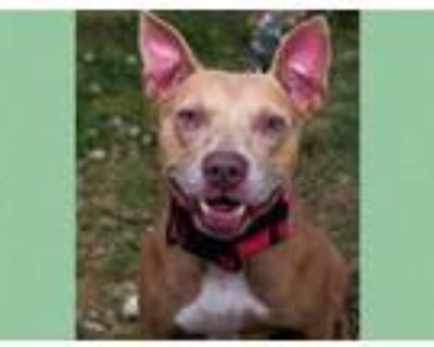 Adopt JADA a Tan/Yellow/Fawn - with White American Pit Bull Terrier / Mixed dog