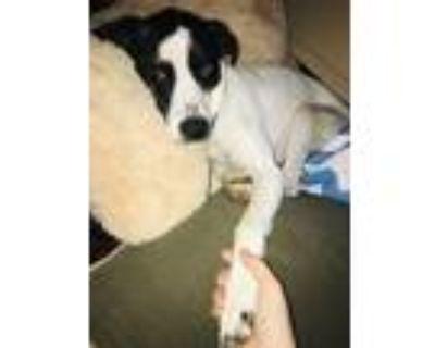 Adopt Astro a White - with Black Catahoula Leopard Dog / Labrador Retriever /