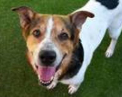 Adopt HEBREW a Border Collie, Mixed Breed