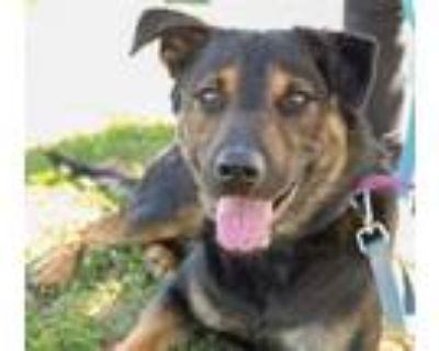 Adopt CLIFFORD a German Shepherd Dog