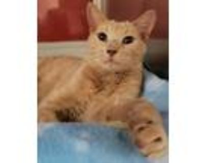 Adopt Curly Fry a Domestic Short Hair