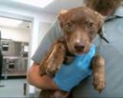 Adopt TURBO a German Shepherd Dog, Mixed Breed