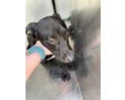 Adopt 48042181 a Black Labrador Retriever / Mixed dog in Fort Worth