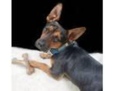 Adopt Dodger a Black Dachshund / Mixed dog in Wichita, KS (32061354)