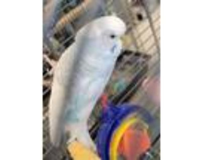 Adopt ROBIN a Black Parakeet - Other / Mixed bird in Derwood, MD (31899245)