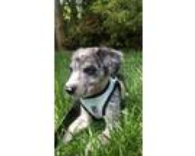 Adopt Chinese checkers a Black Blue Heeler / Catahoula Leopard Dog dog in