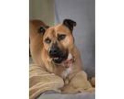 Adopt Jerome a Brown/Chocolate Boxer / American Pit Bull Terrier / Mixed dog in