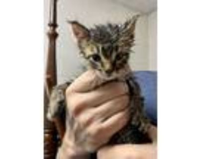 Adopt Barrie a Domestic Shorthair cat in Calimesa, CA (31567778)
