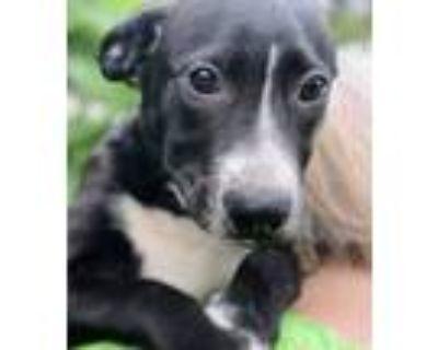 Adopt Aerius - Allergy meds litter a Black - with White Labrador Retriever /