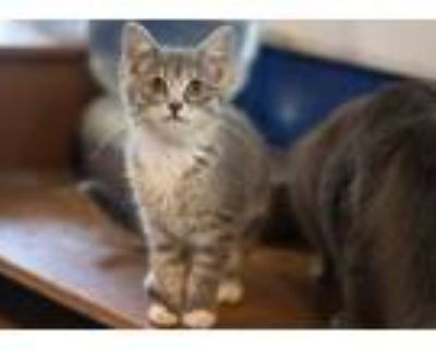 Adopt Wendy a Gray or Blue Domestic Shorthair / Mixed cat in Morgantown