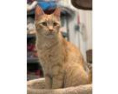 Adopt Mango a Orange or Red (Mostly) Domestic Shorthair / Mixed (short coat) cat