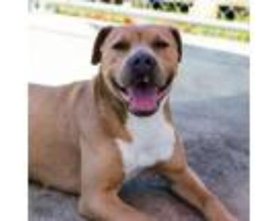 Adopt Sunny a Pit Bull Terrier