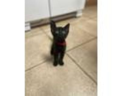 Adopt Roland a Spotted Tabby/Leopard Spotted Domestic Shorthair cat in