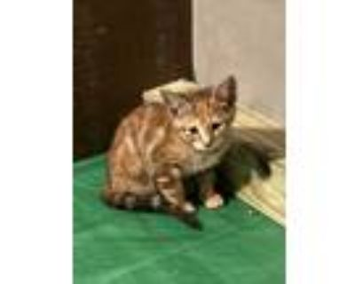 Adopt Gabby a Calico or Dilute Calico Domestic Shorthair (short coat) cat in