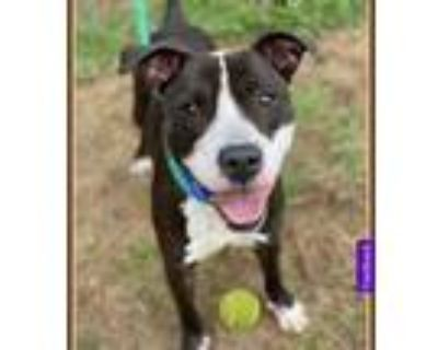 Adopt Andy a Black - with White Pit Bull Terrier / Poodle (Toy or Tea Cup) /