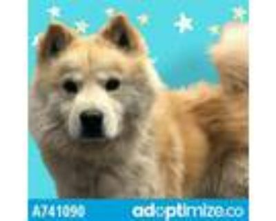 Adopt TANNER* a Red/Golden/Orange/Chestnut Chow Chow / Mixed dog in Tucson