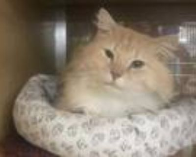 Adopt BUSTER a Cream or Ivory Domestic Longhair / Mixed (long coat) cat in