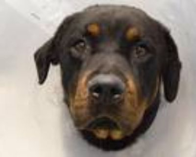 Adopt TINY a Black Rottweiler / Mixed dog in Denver, CO (31998510)