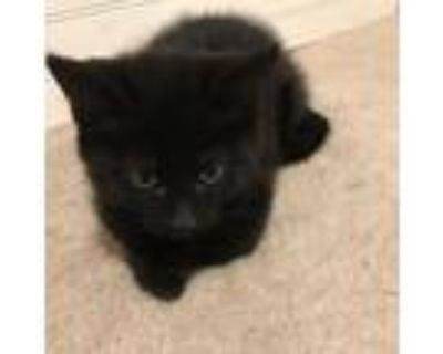 Adopt Coral a All Black Domestic Shorthair / Mixed cat in Northbrook