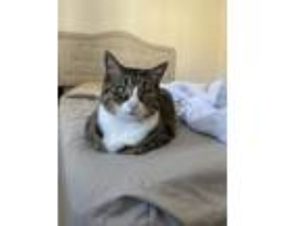 Adopt Jack and Henny a Gray, Blue or Silver Tabby American Shorthair / Mixed