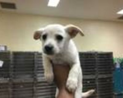 Adopt Dog a White Terrier (Unknown Type, Medium) / Mixed dog in Thousand Palms