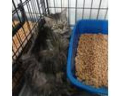 Adopt Ms Kitty a All Black Maine Coon / Mixed cat in Hemet, CA (29984552)