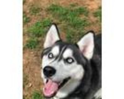 Adopt Mischief a Black - with White Siberian Husky / Husky / Mixed dog in