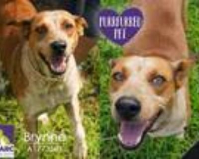 Adopt BRYNNE a Australian Cattle Dog / Blue Heeler, Mixed Breed