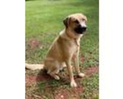 Adopt Annie a Tan/Yellow/Fawn - with Black Anatolian Shepherd / Mixed dog in